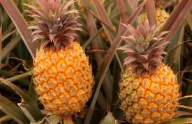 Gwanzi Pineapples 2